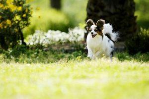 埼玉県の犬、パピヨンのペット火葬なら優眠へ