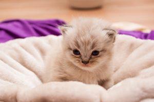 ペルシャ子猫1