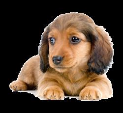 ミニチュアダックス子犬
